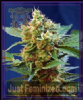 Sweet Auto Cream Mandarine XL Female 5 Seeds